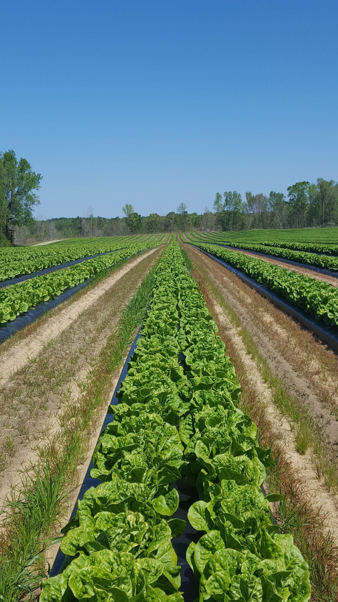 is romaine lettuce safe to eat? lettuce farm