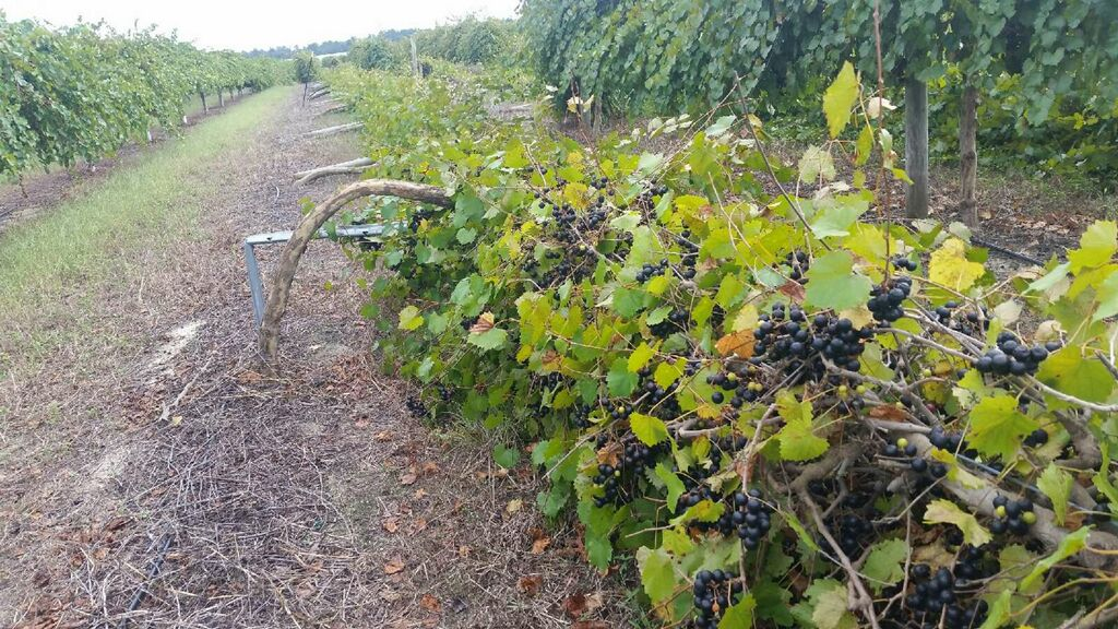 A snapshot of damaged vines at Southern Fox Vineyard after Hurricane Florence
