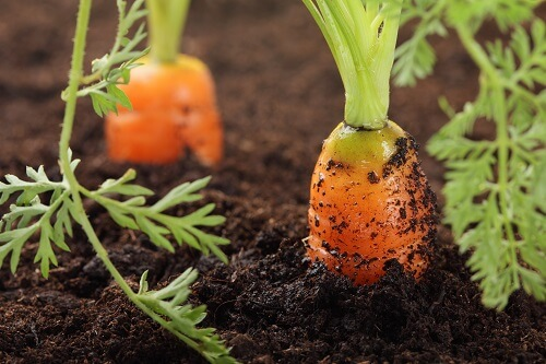 Curious about Carrots?